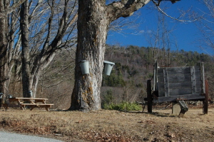 Sap Buckets on Maple Tree Townshend, VT